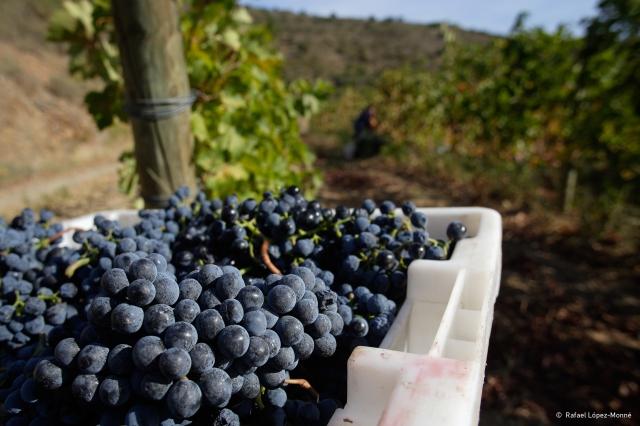 Verema a les vinyes de Coma de Vaixell, cabernet, sols de llicorella (pissarra), DO Empordà, Colera, Alt Empordà, Girona
